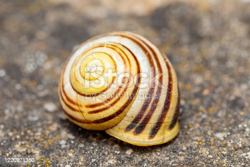 istock Empty abandoned conch snail shell. 1220921350
