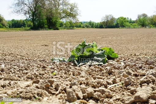 istock Empty agrarian field with a forgotten lettuce. 1227035104