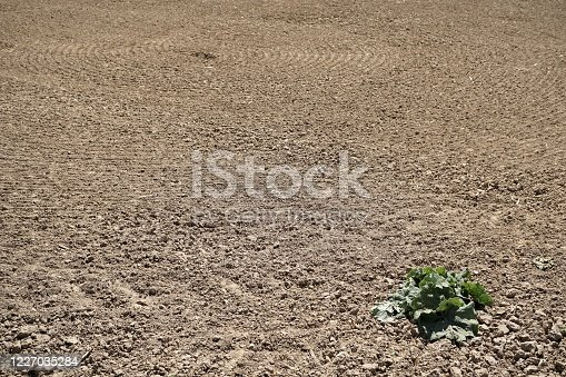 istock Empty agrarian field with a forgotten lettuce. 1227035284