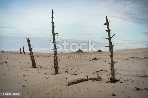 Dry, dead landscape. Bare tree trunks standing in the sand dunes