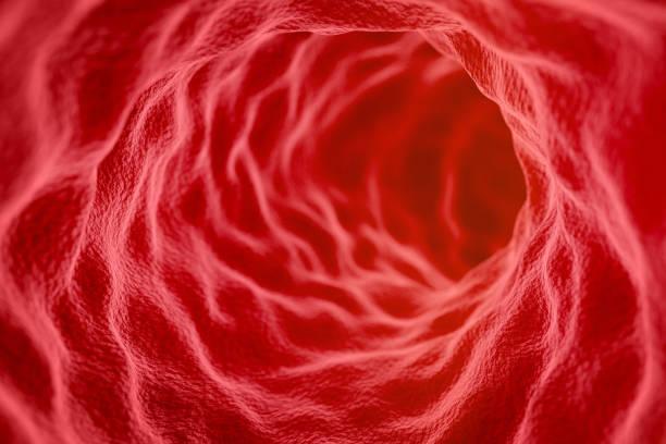 empty blood vessel/artery/intestine - tessuto umano foto e immagini stock