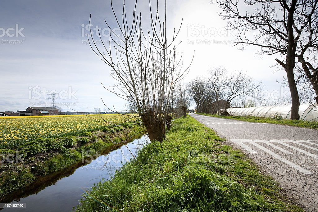 empty country road near daffodil field royalty-free stock photo
