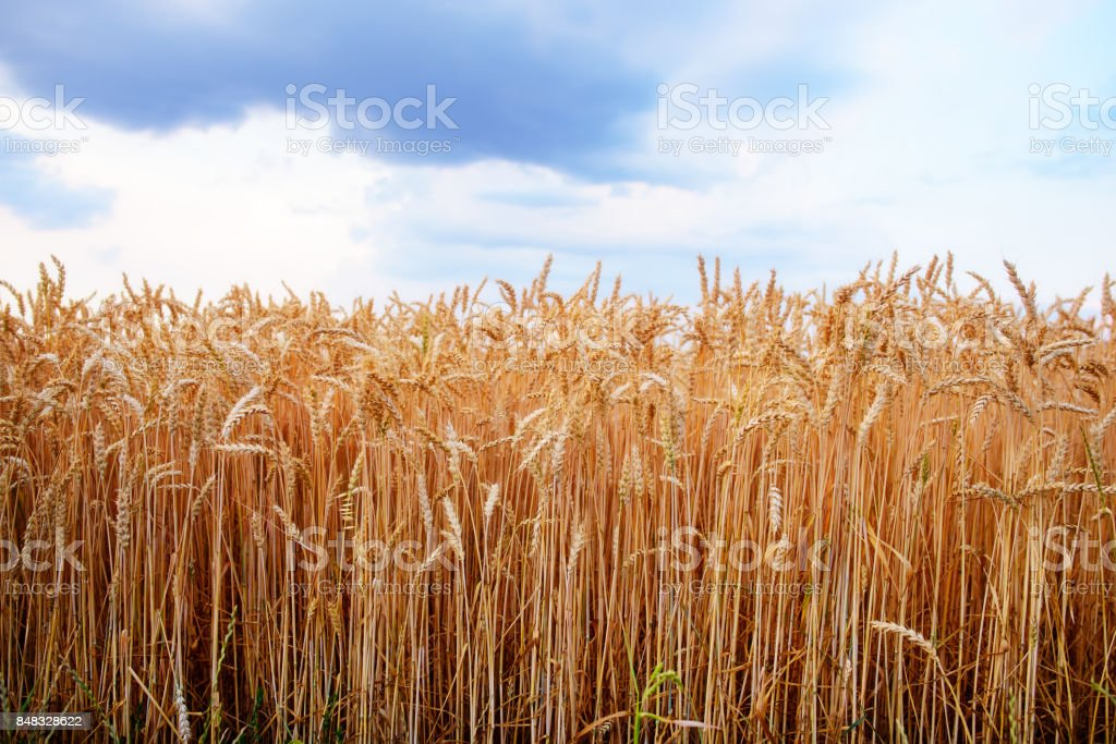 Empty countryside road through fields with wheat stock photo