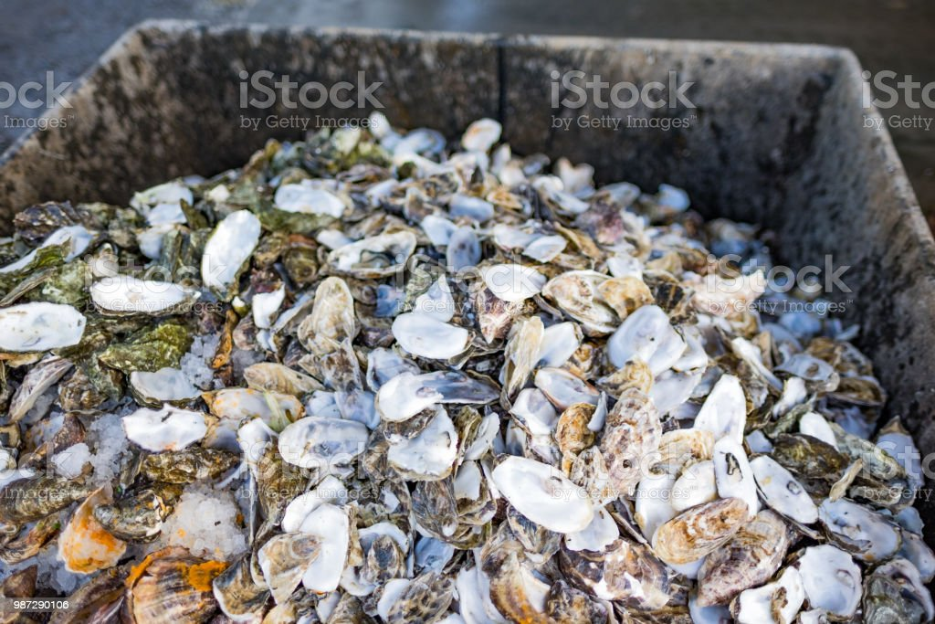 Empty half shells  - pile of shucked oysters - conservation - comsumption - waste stock photo