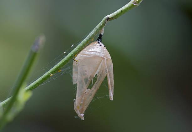 Empty Monarch Butterfly Pupa