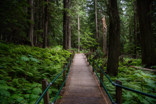 empty pedestrian walkway in a dense forest in summer - british columbia glacier national park stock pictures, royalty-free photos & images