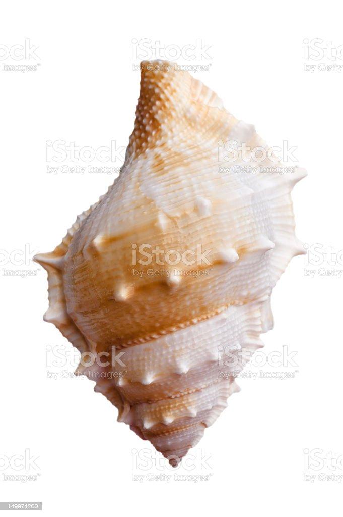 Empty sea shell royalty-free stock photo