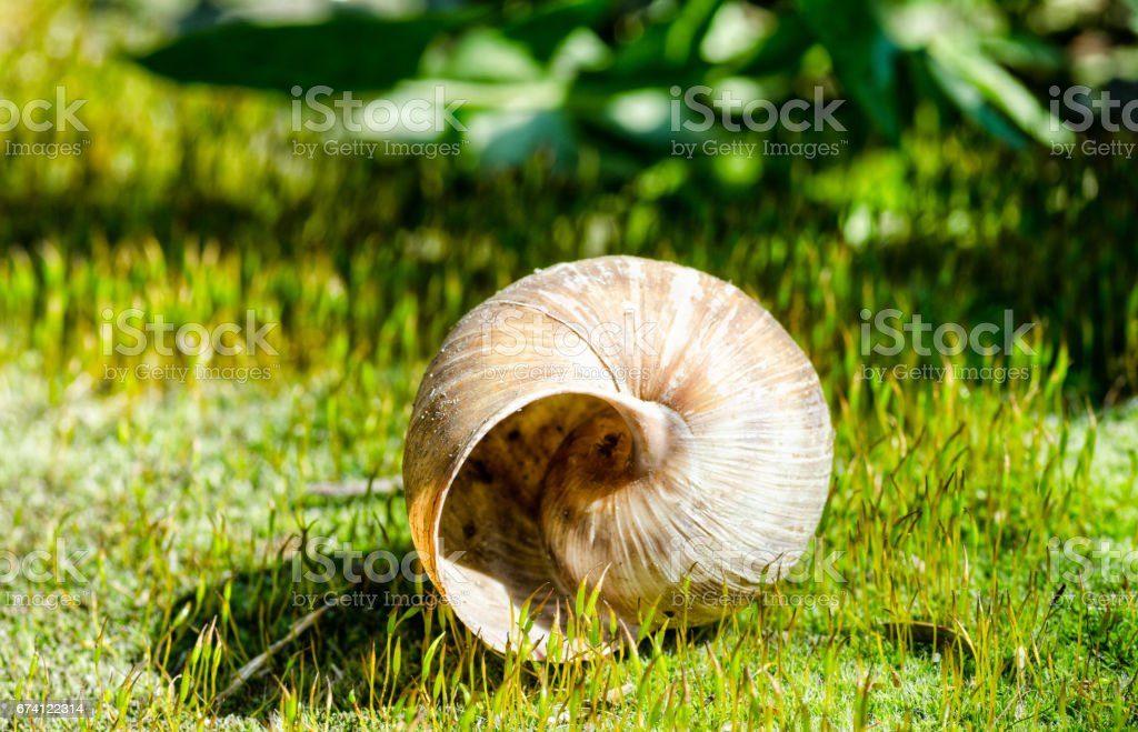 Empty snail shell on the green grass in the spring sunlight. royalty-free stock photo