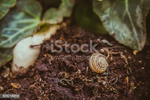 istock Empty snail shell on the ground at the garden 525215010