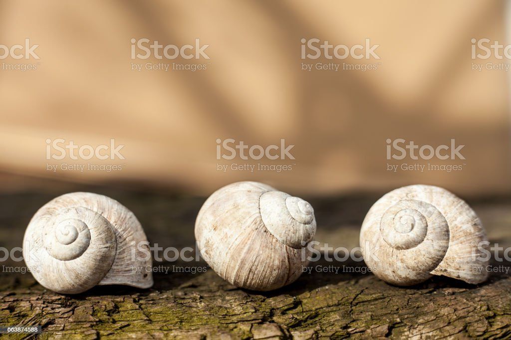 Empty snail shells. Calcified Roman snails shells. White snails shells on wood. – zdjęcie
