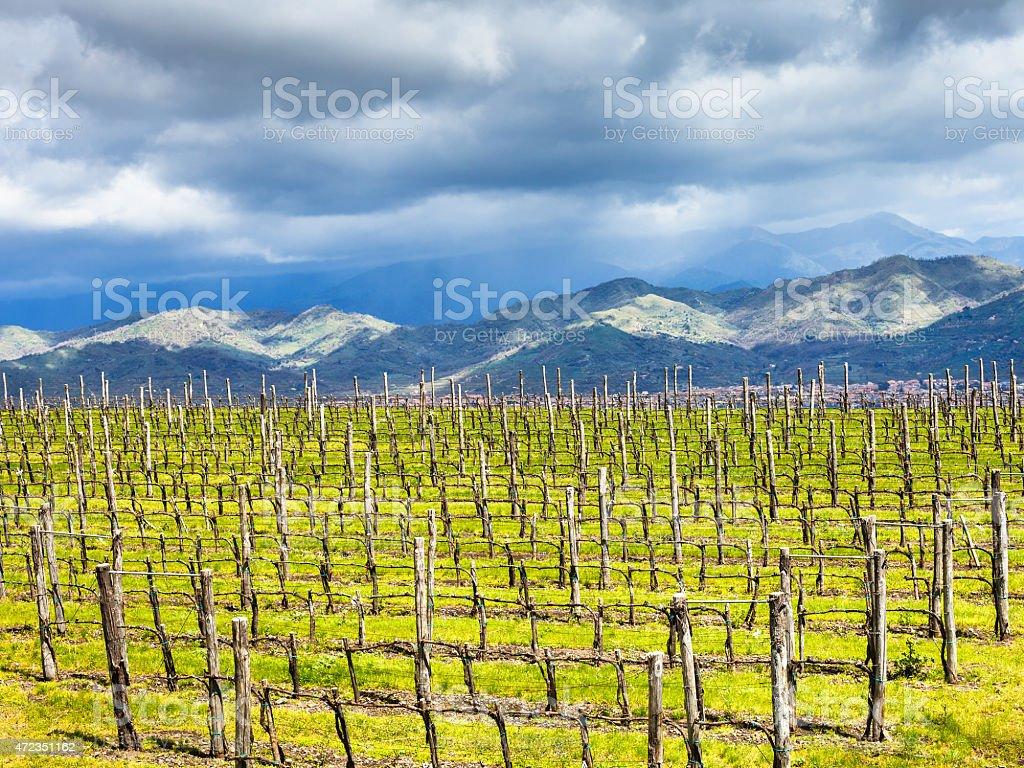 empty vineyard in Etna winemaking region in spring stock photo