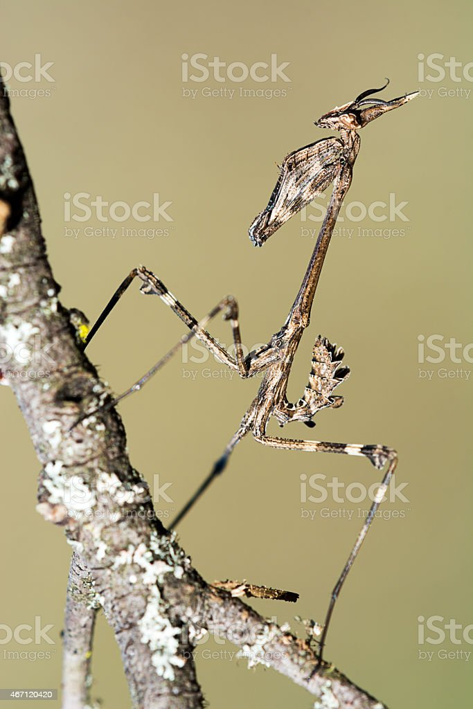 empusa pennata praying mantis on a branch isolated stock photo