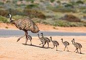 istock Emu and chicks 1069495964