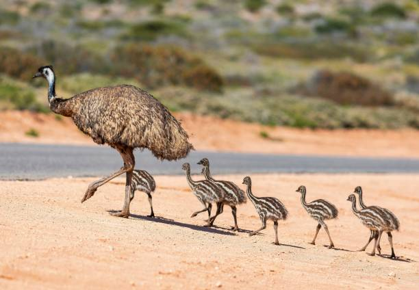 Emu and chicks An Emu and its chicks by the roadside at Denham, Western Australia. animal family stock pictures, royalty-free photos & images