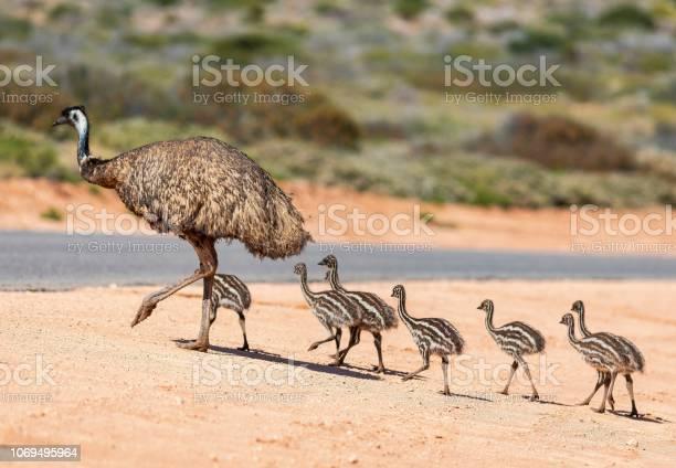 Photo of Emu and chicks