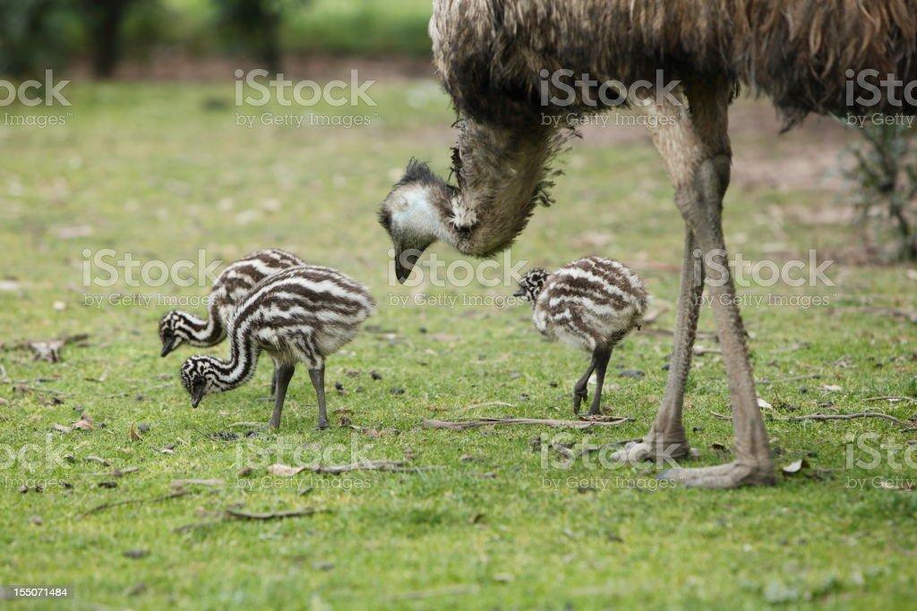 Emu and Chicks stock photo