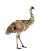 istock Emu bird against white background 93211326