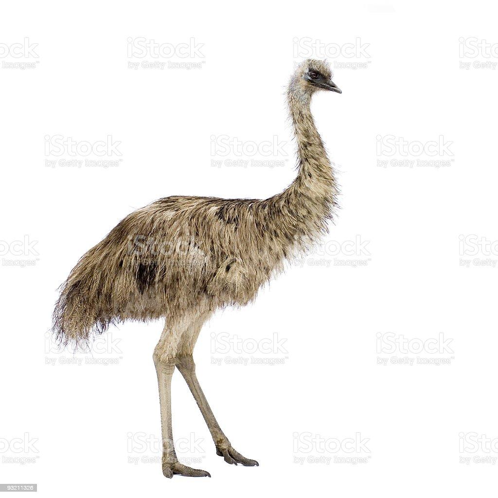 Emu bird against white background stock photo