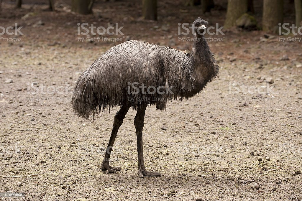 Emu bird royalty-free stock photo