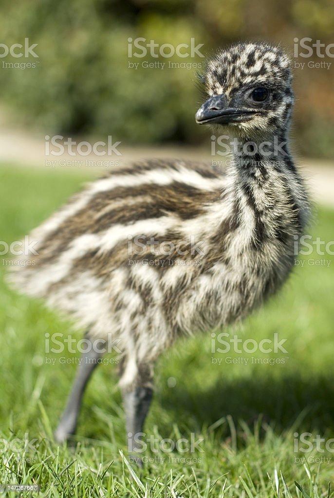 emu chick stock photo