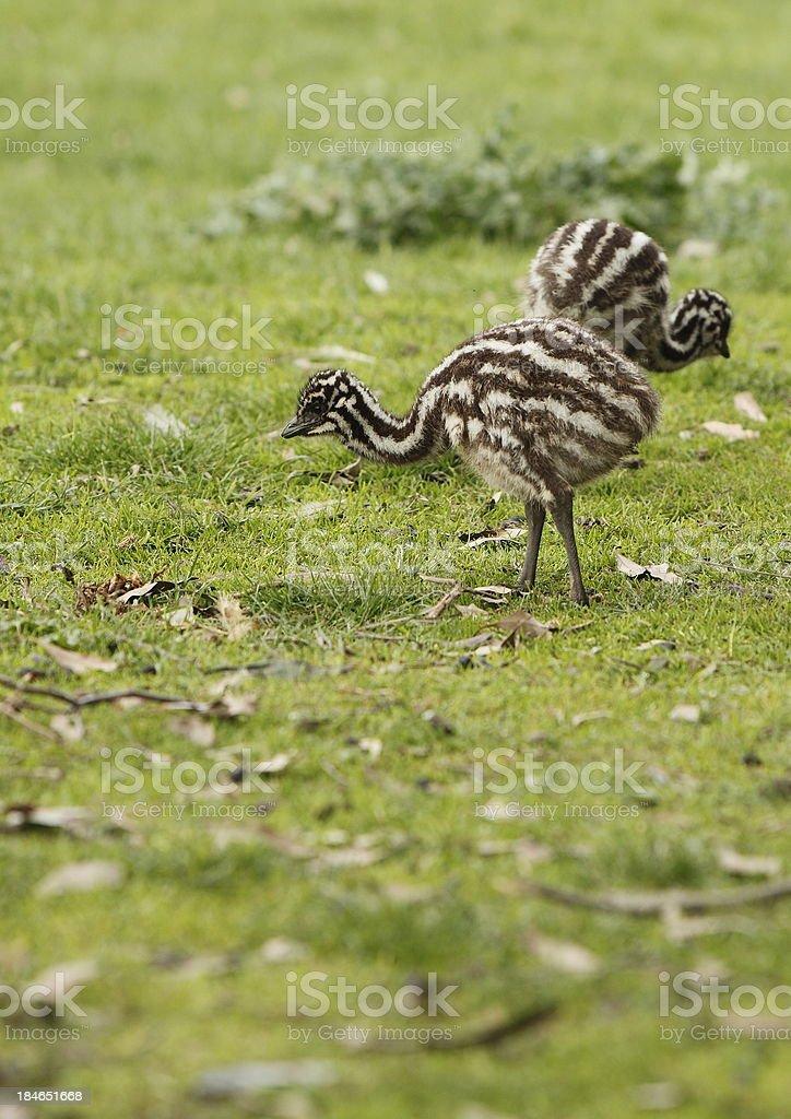 Emu Chicks stock photo