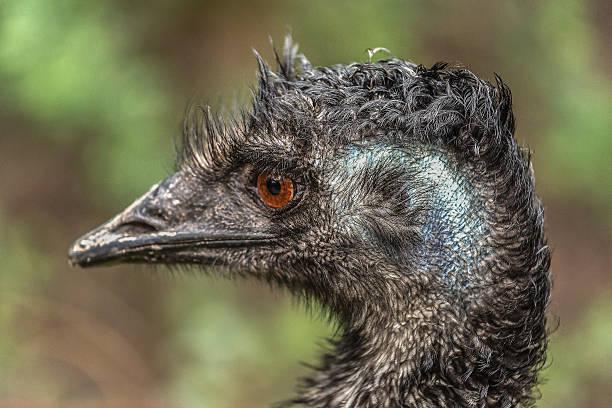 Emu face stock photo