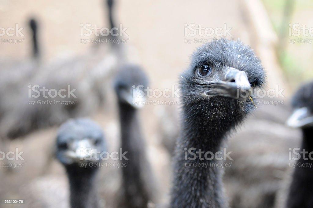 Emu Farm stock photo
