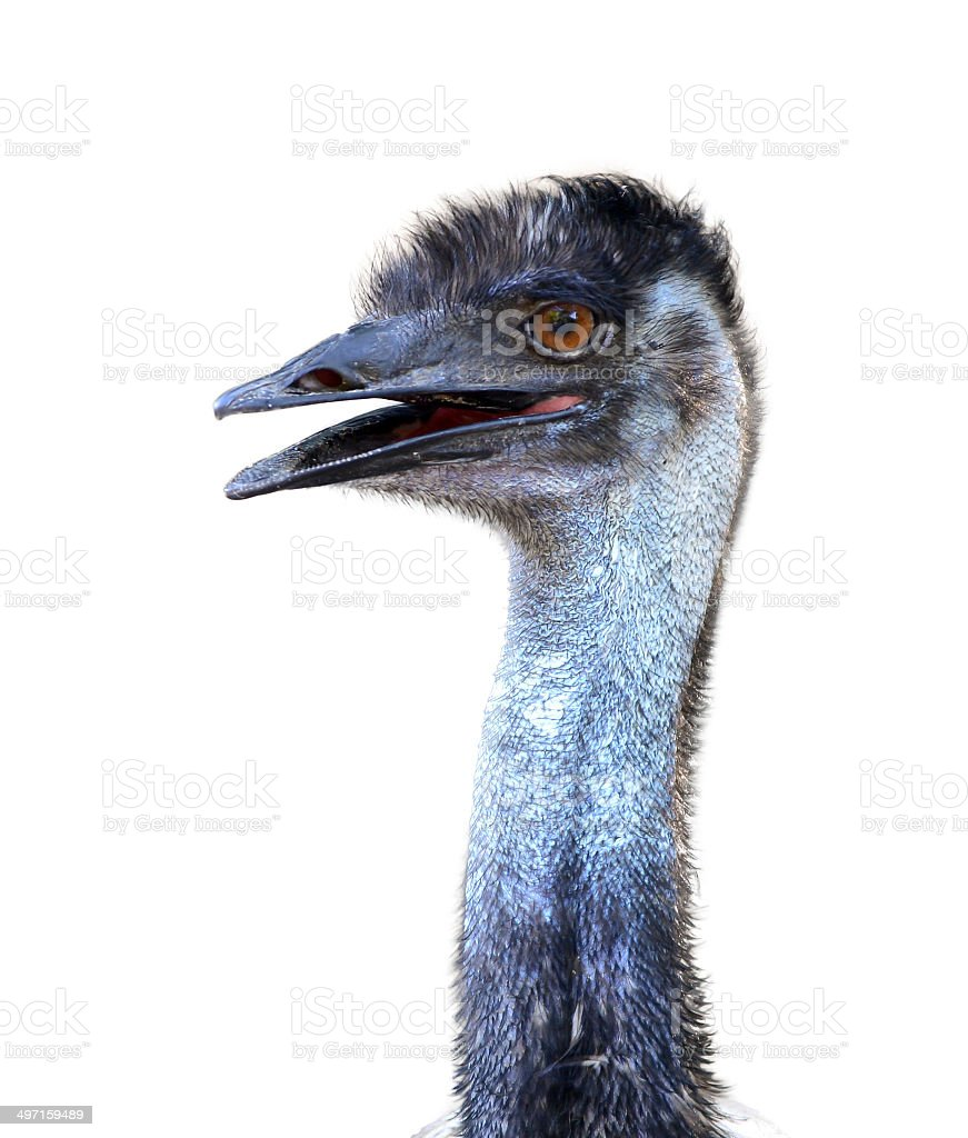emu head isolated stock photo