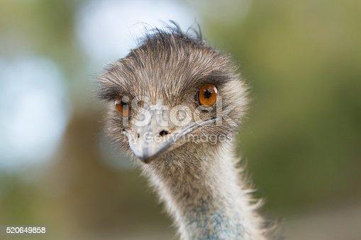 Close up of a young emu. Australia.