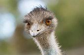 istock Emu Head 520649858