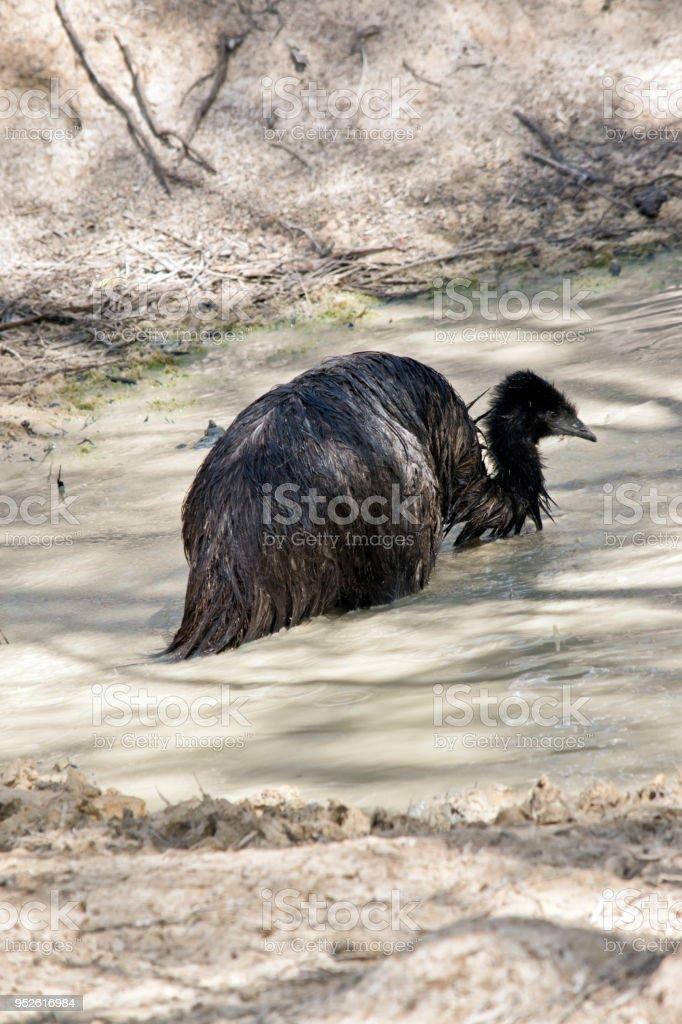 emu in a billabong stock photo