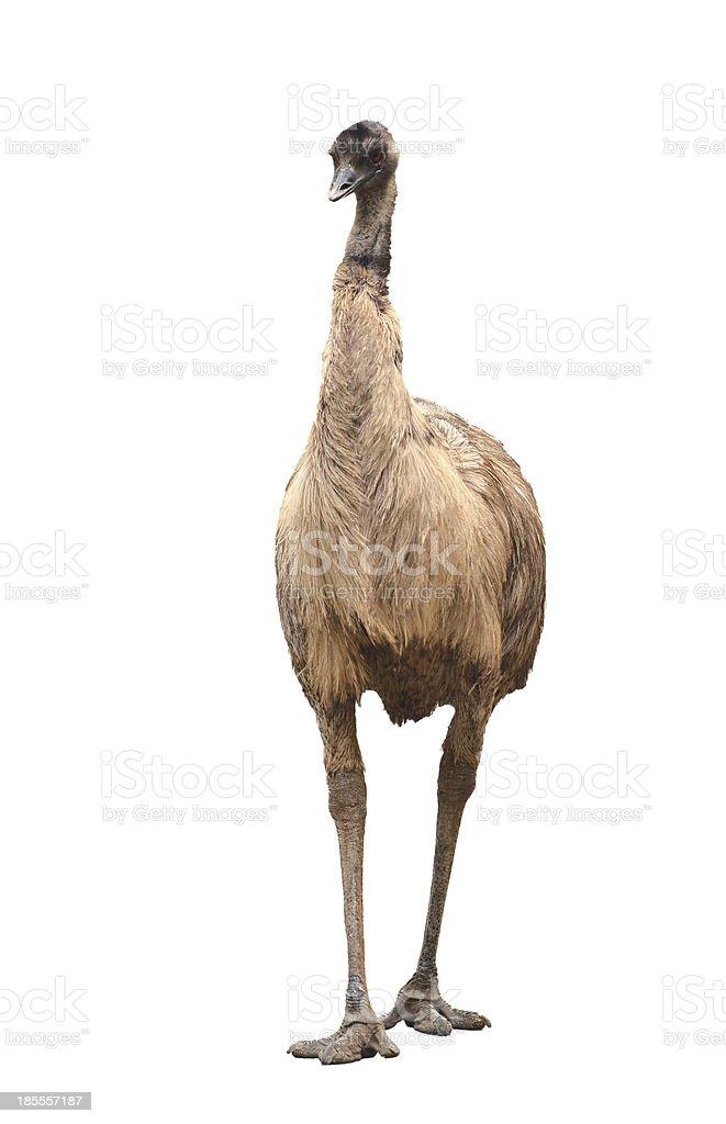 emu isolated on white background stock photo