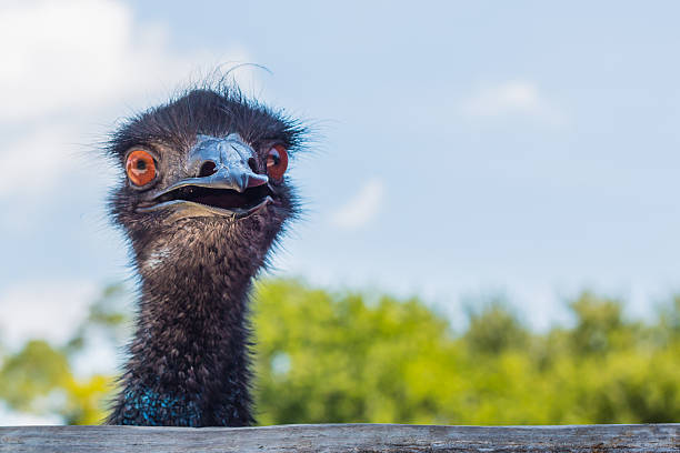 Emu looking at camera stock photo