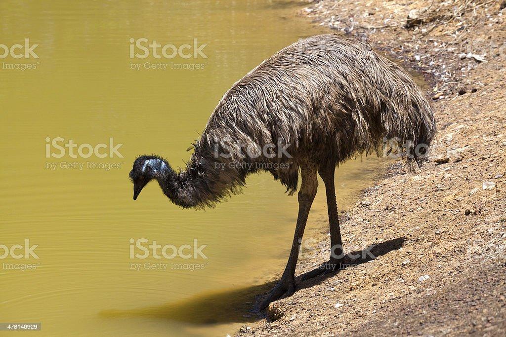Emu near drinking water stock photo
