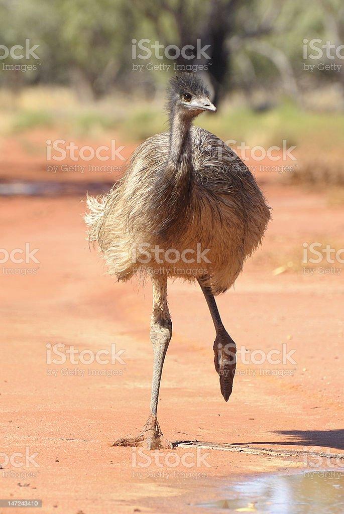 Emu on the run stock photo