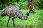 istock Emu (Dromaius novaehollandiae) 1069839068