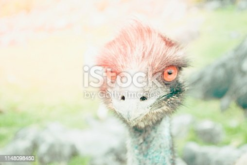 An Emu looks to the camera.