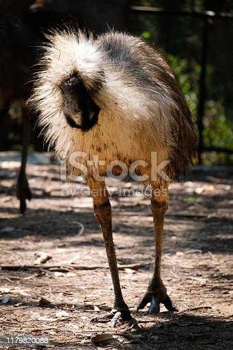 Emu is Australian birds have tiny, mostly useless wings, but their long legs are very powerful.