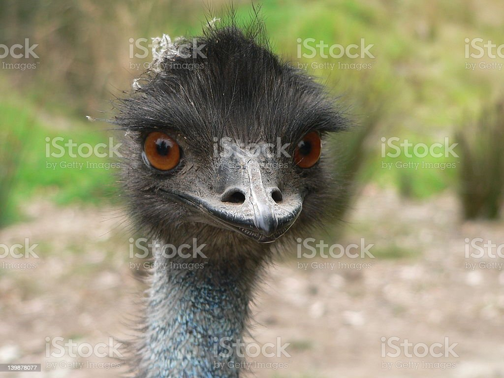 emu royalty-free stock photo