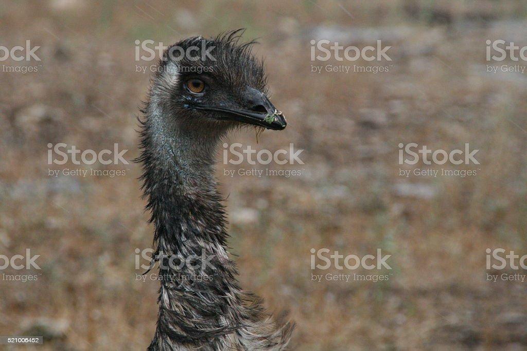Emu stock photo