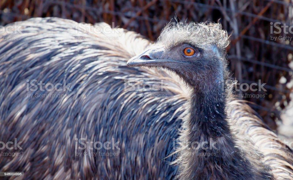 Emu. stock photo
