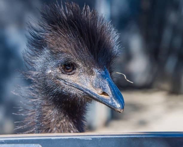 Emu portrait - good hair day stock photo
