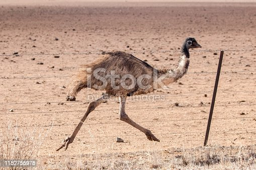 Emu running along fence line