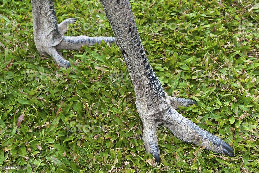 Emu strong legs detail, Australia stock photo