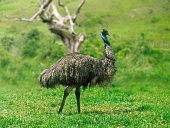 istock Emu walking in the green vegetation. Is an endemic land bird from Australia 1298709343