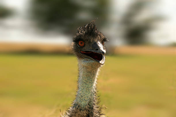 Emu with gaping maw