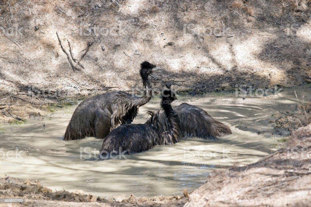 emus in a billabong stock photo