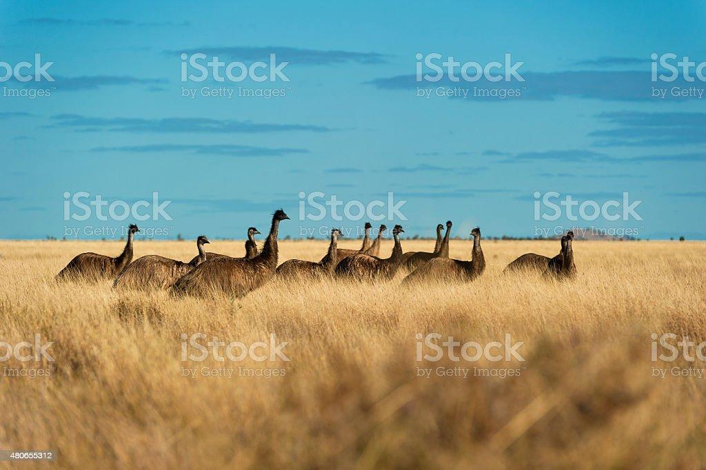 Emus in Outback Australia stock photo