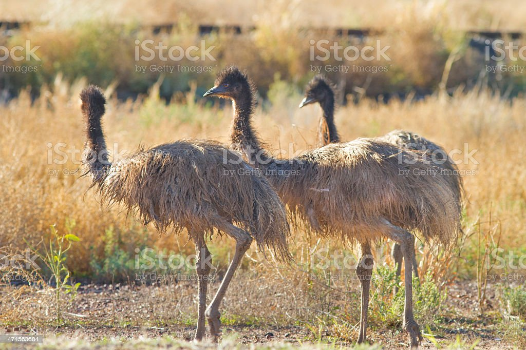 Emu's stock photo
