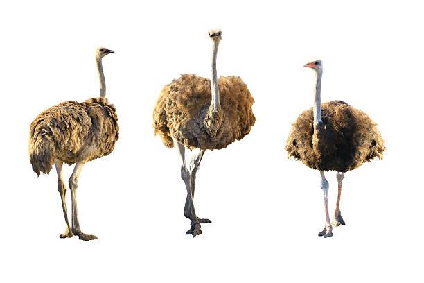 Emus - foto de stock